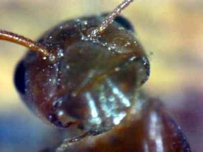 boing boing ant.jpg