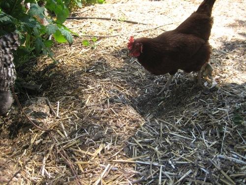 scratching-hen.jpg
