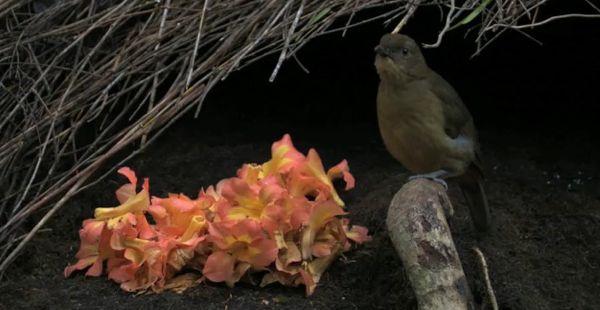 vogelkopbowerbird.jpg