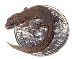 Самая маленькая ящерица в мире.