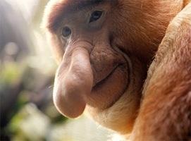 Blogger 761 1659 1600 Proboscis Monkey 3 Spluch 2