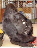 http://www.boingboing.net/images/_c_pictures_2005_02_18_ba_gorilla39-1.jpg