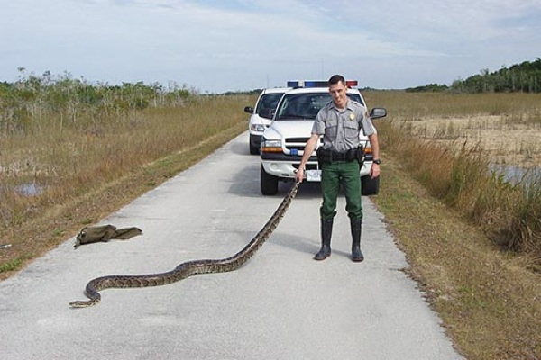 Images Atm-Guts-And-Glory-Ranger-With-Burmese-Python-520