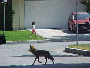 Controlling urban coyote population