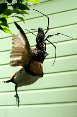 spider eat bird
