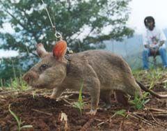 Landmine sniffing rat