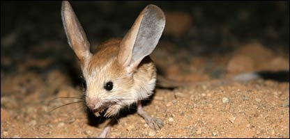 Media Images 44284000 Jpg  44284741 Jerboa 416203