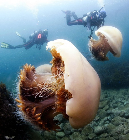 Giant jellyfish invade Japan / Boing BoingJapanese Giant Jellyfish