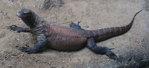 Wikipedia Commons 3 3F Varanus Komodoensis