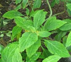 Wikipedia Commons Thumb 8 82 Salvia Divinorum - Herba De Maria.Jpg 260Px-Salvia Divinorum - Herba De Maria