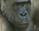 Gorillapoppp