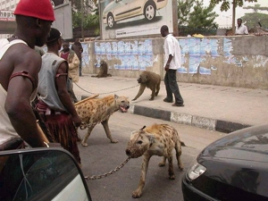 Hyenas and baboons for pets