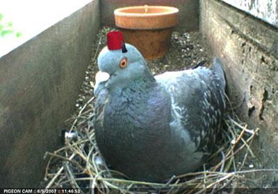http://boingboing.net/images/pigeonCam2007.jpg