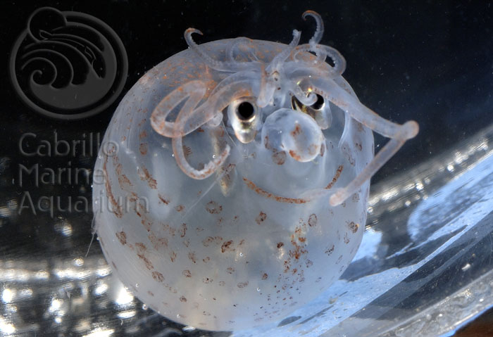 Piglet Squid is Cute / Boing Boing