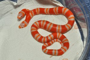 Images Two-Headed-Snake Lampropeltis Triangulum Hondurensis Albino Twoheads Eating 11-17-11 A3 Web