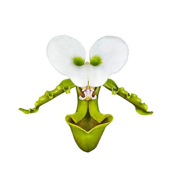 Images Orchid-Olympics-Paphiopedilum-Spicerianum-24