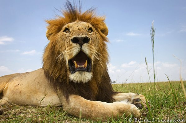 Img Beetlecam-Wildlife-Photo-Robot-Lion-Closeup-1331226515393