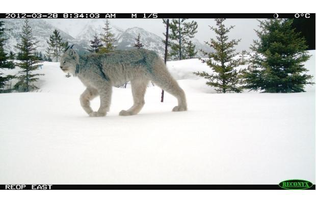 Calgary Cat Missing Orange And White Shorthair Strider