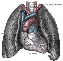 Wikipedia Commons E E6 Heart-And-Lungs