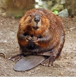 Wikipedia Commons 6 6B American Beaver