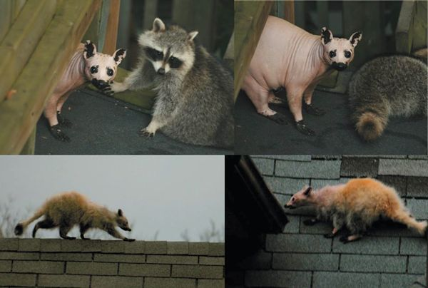 This is what a hairless raccoon looks like - Boing Boing Raccoon With No Hair