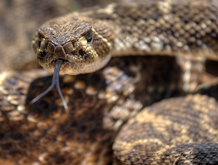 Western Diamondback Rattlesnake (Crotalus atrox)