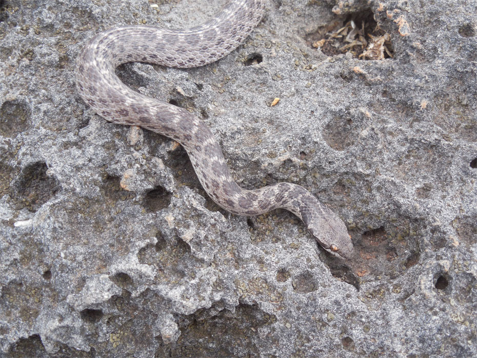 This 18-inch Clarion Nightsnake (Hypsiglena unaocularus), found on black lava rock habitat on the island of Clarion, is darker in color than its mainland relatives and has a distinctive pattern of spots on its head and neck. The Clarion Nightsnake, which was initially discovered in the first half of the 19th century and then struck from the scientific record, was rediscovered and declared a new species by National Museum of Natural History researcher Daniel Mulcahy and a team of Mexican scientists led by ecologist Juan Martínez-Gómez in May 2014. (Photo courtesy of Daniel Mulcahy)
