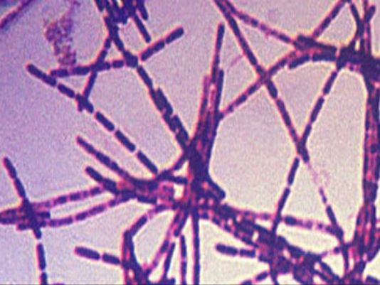 Anthrax bacteria. (Photo: Centers for Disease Control and Prevention)