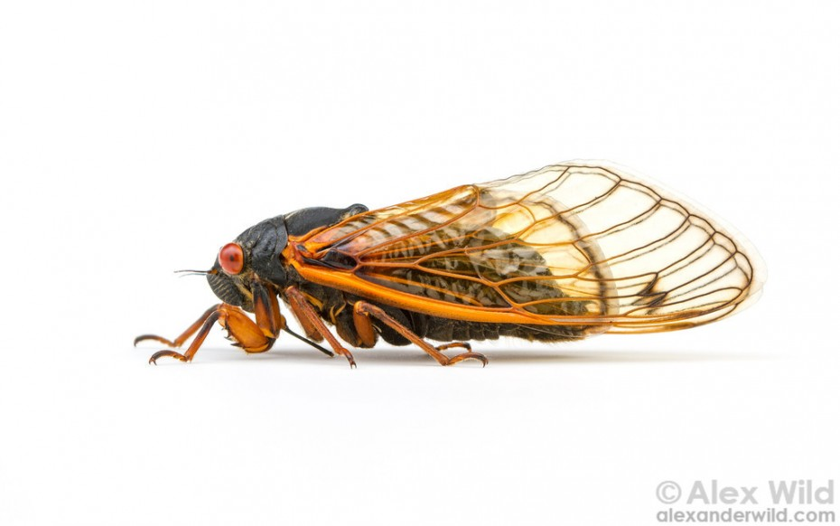 """Portrait of a periodical cicada, Magicicada cassini. Panther Creek State Conservation Area, Illinois, USA."""