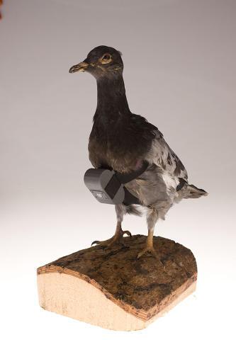 3033350-slide-pigeoncamera1