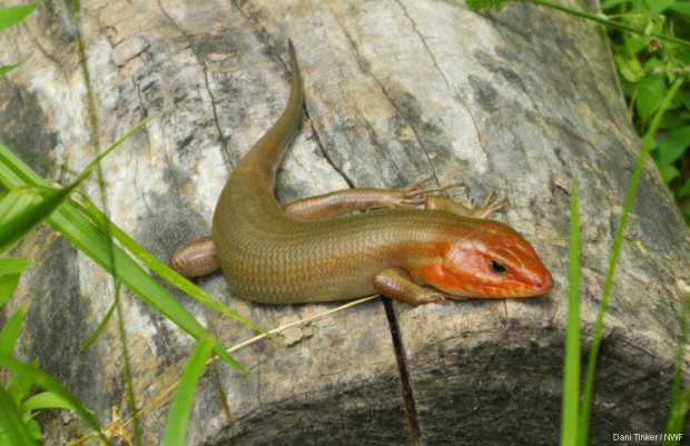 Broad-headed skink on top of a log by Dani Tinker.