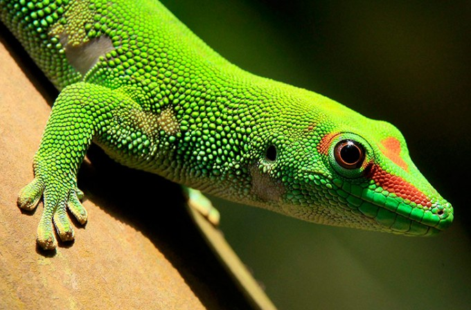 A Madagascar day gecko sits on a perch. Image: Reuters