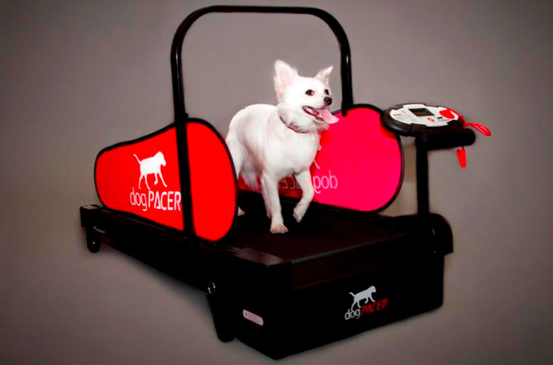 A dog trots on the Minipacer, a treadmill for small dogs, in Las Vegas, Nevada. [REUTERS]