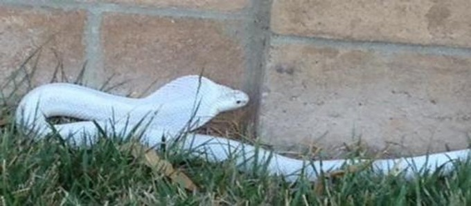 This is the actual snake they're looking for. Photo: LA Dept. of Animal Control