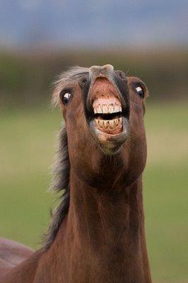 Flehmen-Response-2-cheval