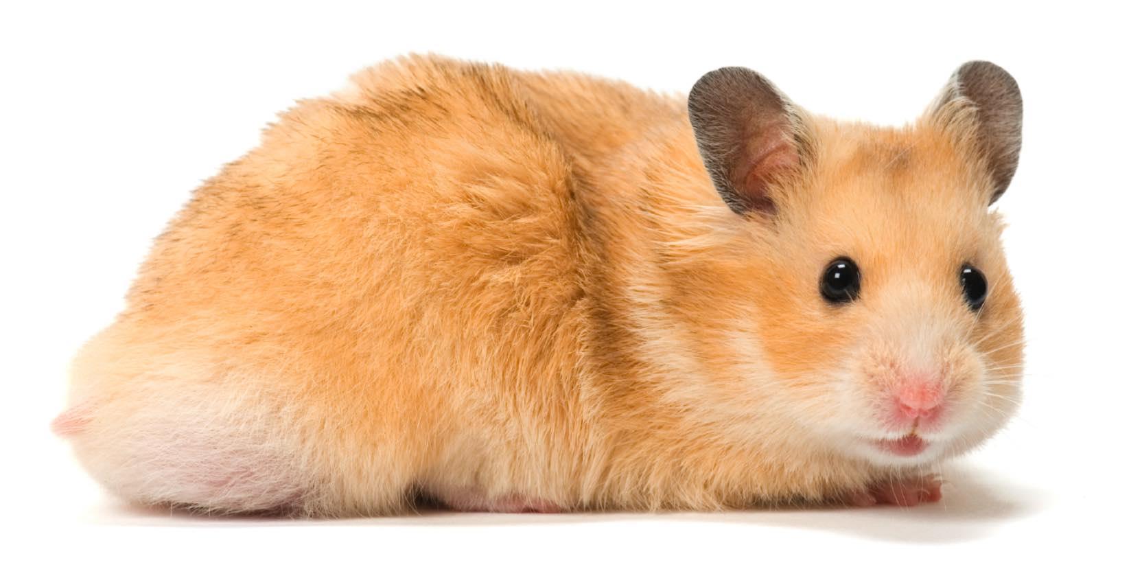 hamsters boing boing
