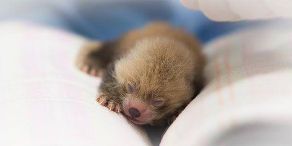 Baby Red Pandas Boing Boing
